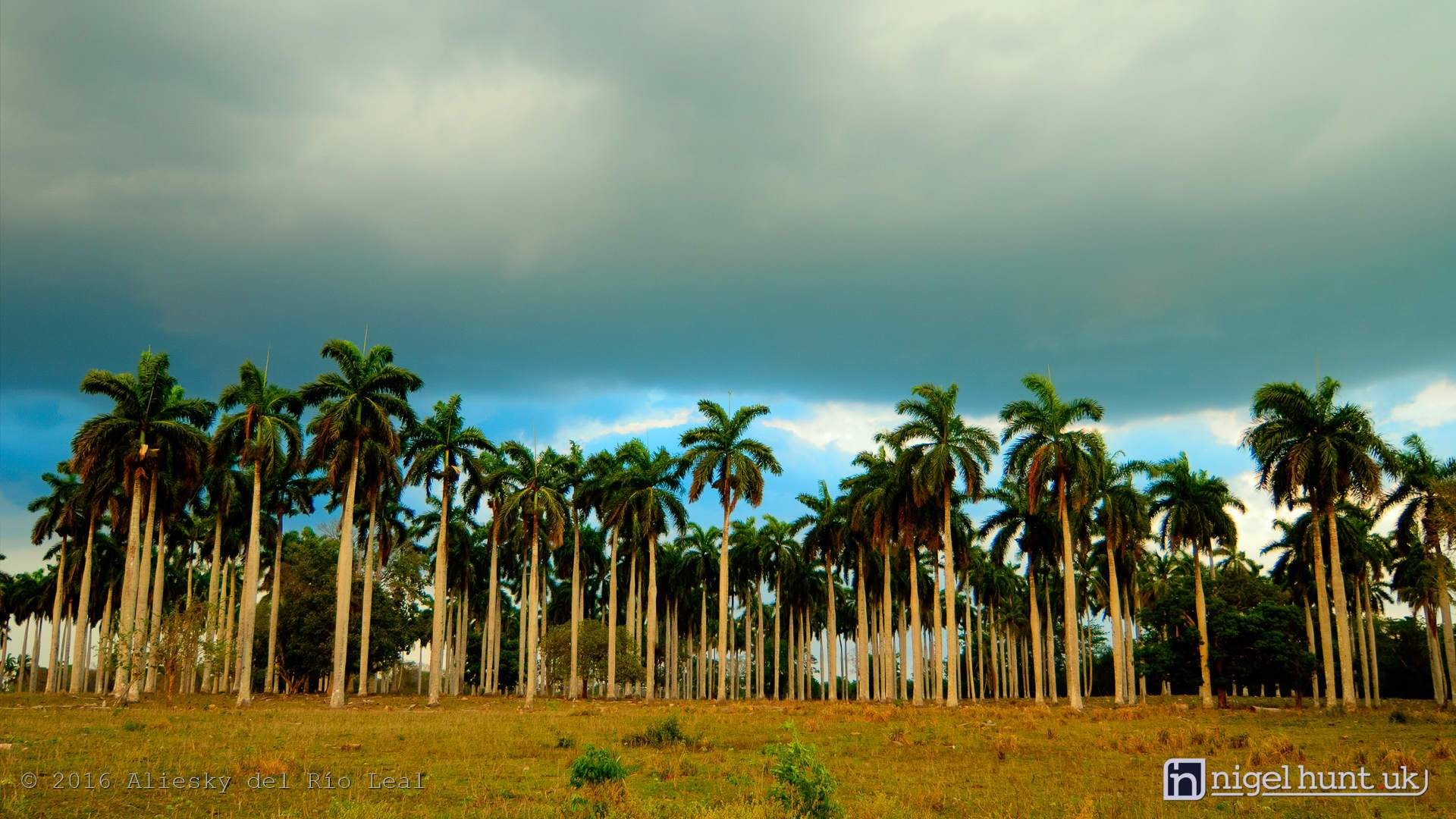 Royal Palm trees in Camaguey