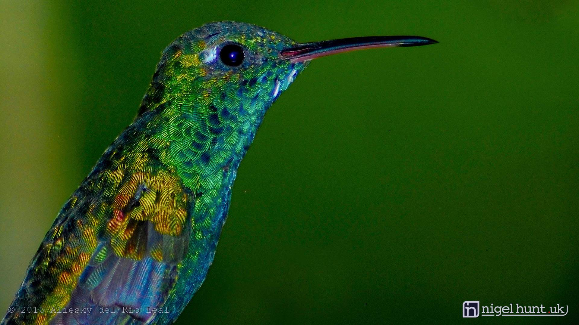 The Cuban Hummingbird